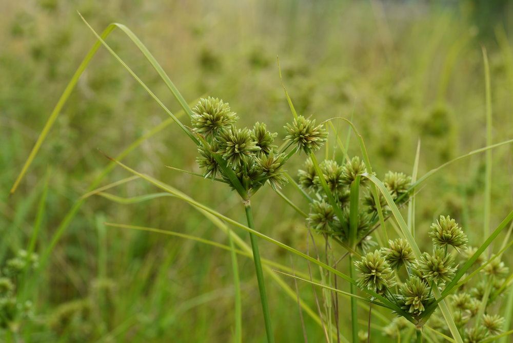 jfrei-Cyperus-eragrostis_Oerlikon.JPG