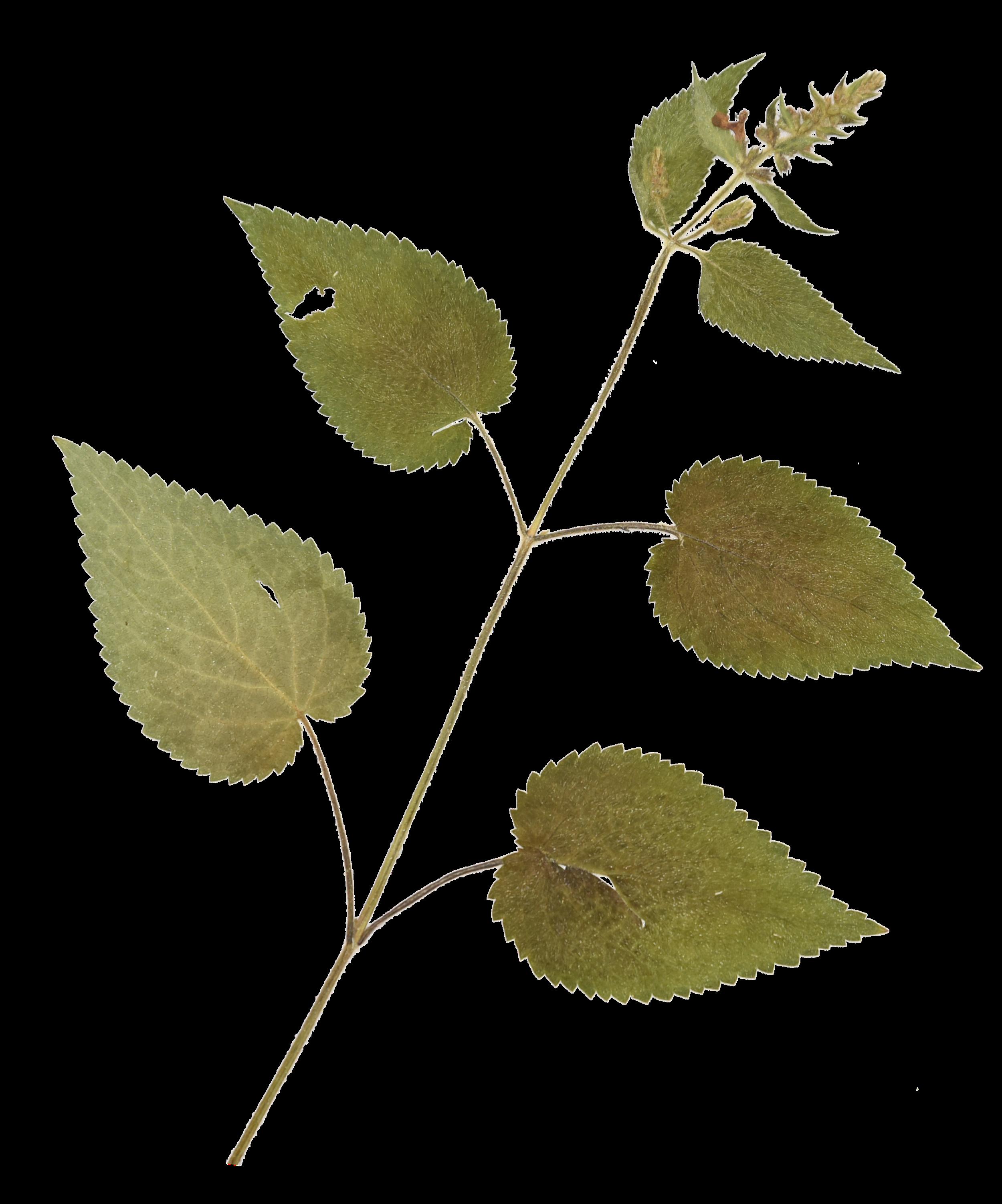 HERBARIUM URBANUM. - Ein Herbarium der Pflanzenarten Mitteleuropas mit Schwerpunkt urbaner Lebensräume. Die Pflanzen werden gepflückt, bestimmt, getrocknet und auf A3 Bögen aufgezogen archiviert. Die Präparate bilden die Basis zur Bebilderung verschiedener Publikationen in Erarbeitung.