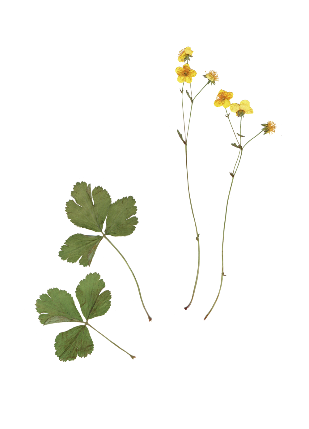 waldsteinia_geoides.png