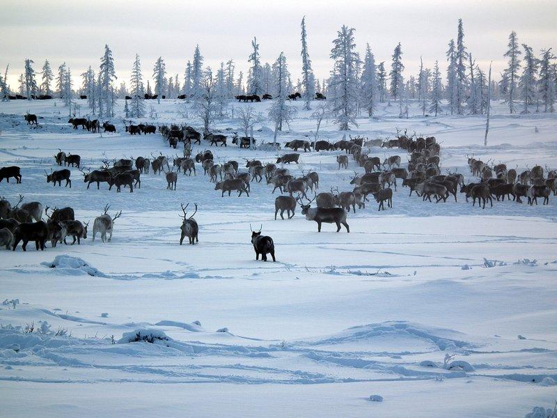 Nadym Reindeer Herd.jpg
