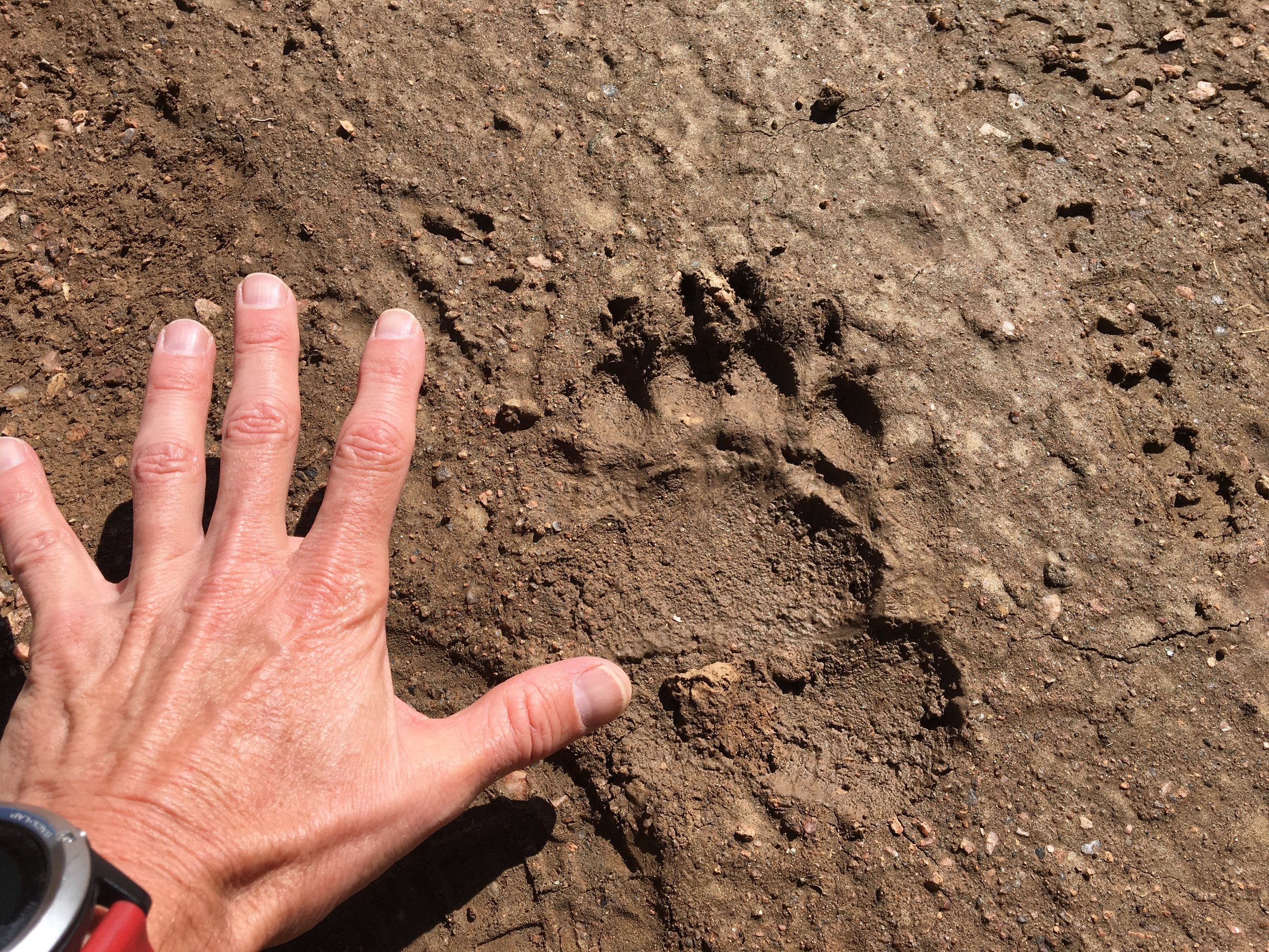 No bear sightings on my long run this week, only fresh bear tracks.