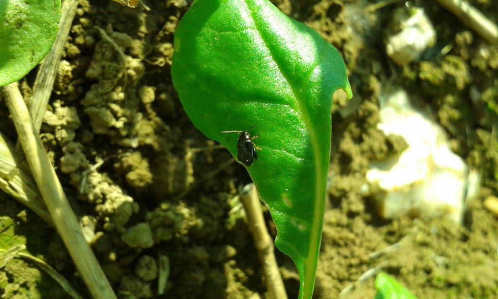 Cabbage Stem Flea beetle.jpg