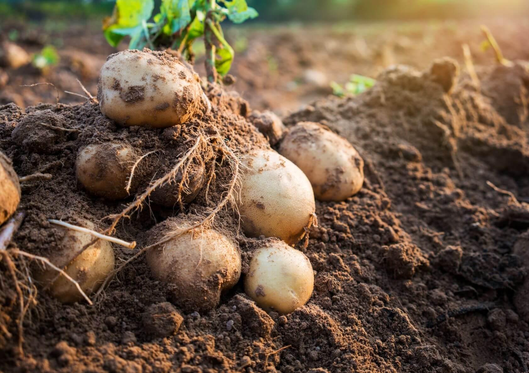 potato agronomy diquat.jpeg