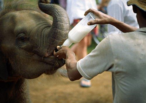 Bottle-fee-baby-elephants.jpg