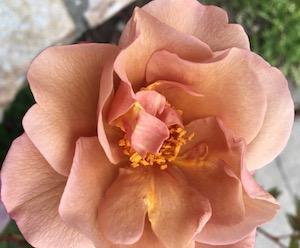 Peach rose.jpeg