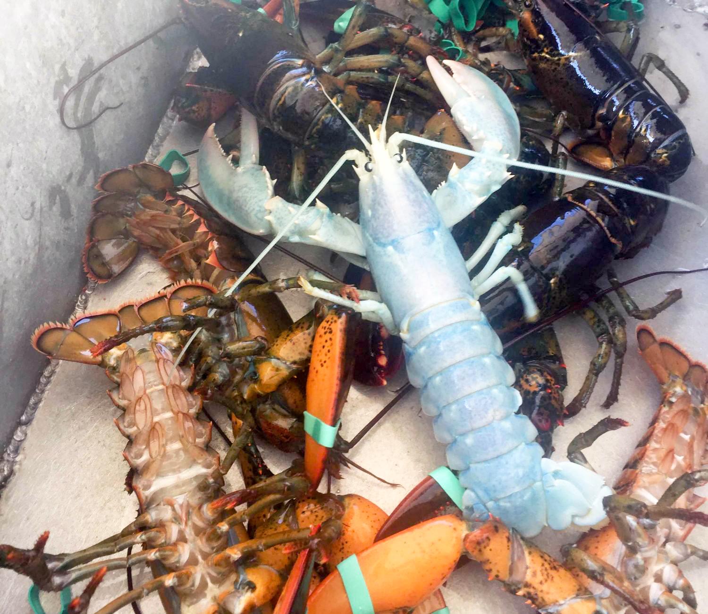 white-maine-lobster-leucistic