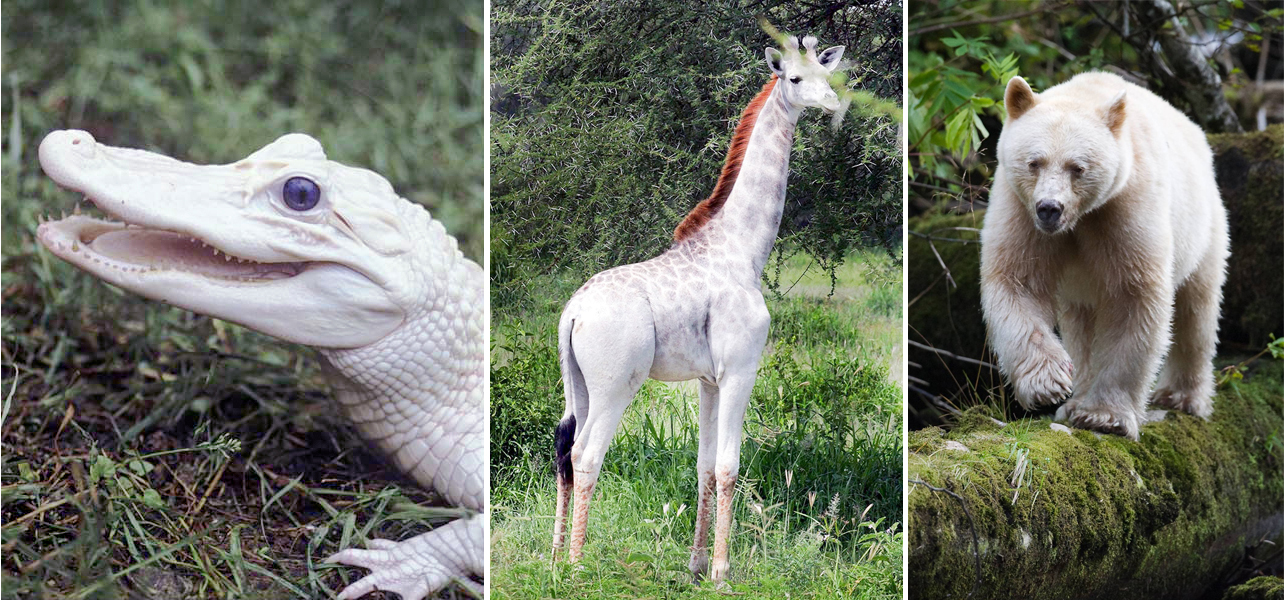 """White gators  at Gatorland, Florida or  white giraffes  in Kenya or """" spirit bears """" in British Columbia."""