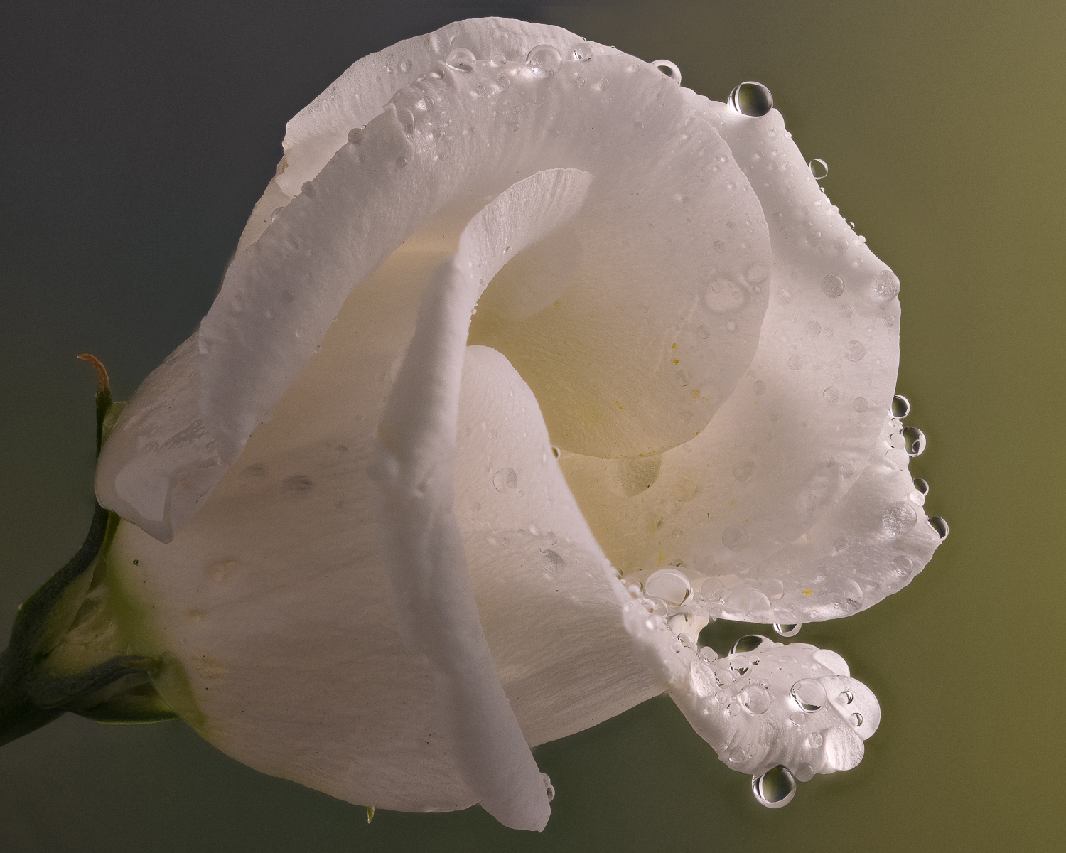 You can see the image here is pretty sharp with minimal artefacts. There is some blurring around the outside of the flower but this would be easily fixed in Photoshop. The petals nearest the stem still hold details.