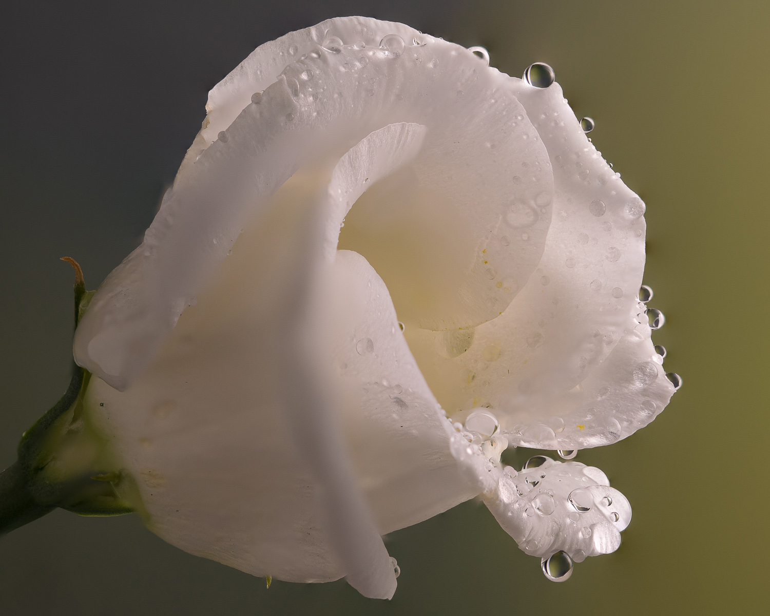 Some obvious blurring at edges of flower and the image is far softer and the loss of detail in the petals is easy to see.