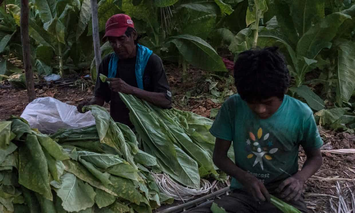 A boy and his father threading tobacco leaves in Santiago, Nayarit. Photograph: César Rodríguez for the Guardian