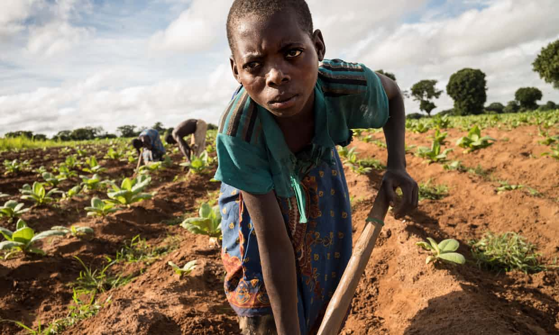 Tiyamike Phiri, 14, at work on a tobacco plot in Kasungu district, Malawi. Photograph: David Levene for the Guardian