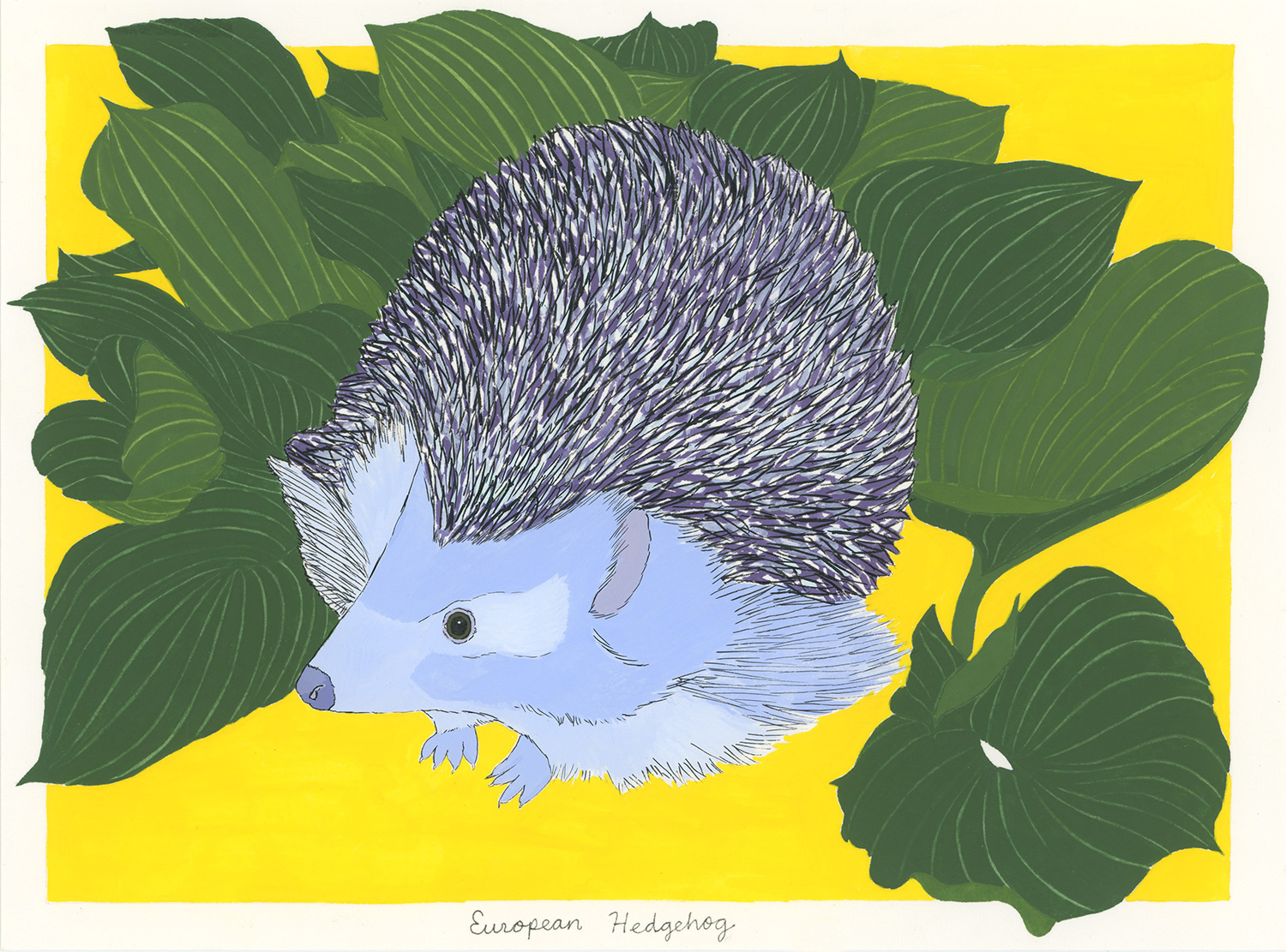 European Hedgehog (for the one that got stuck in a garden gate)