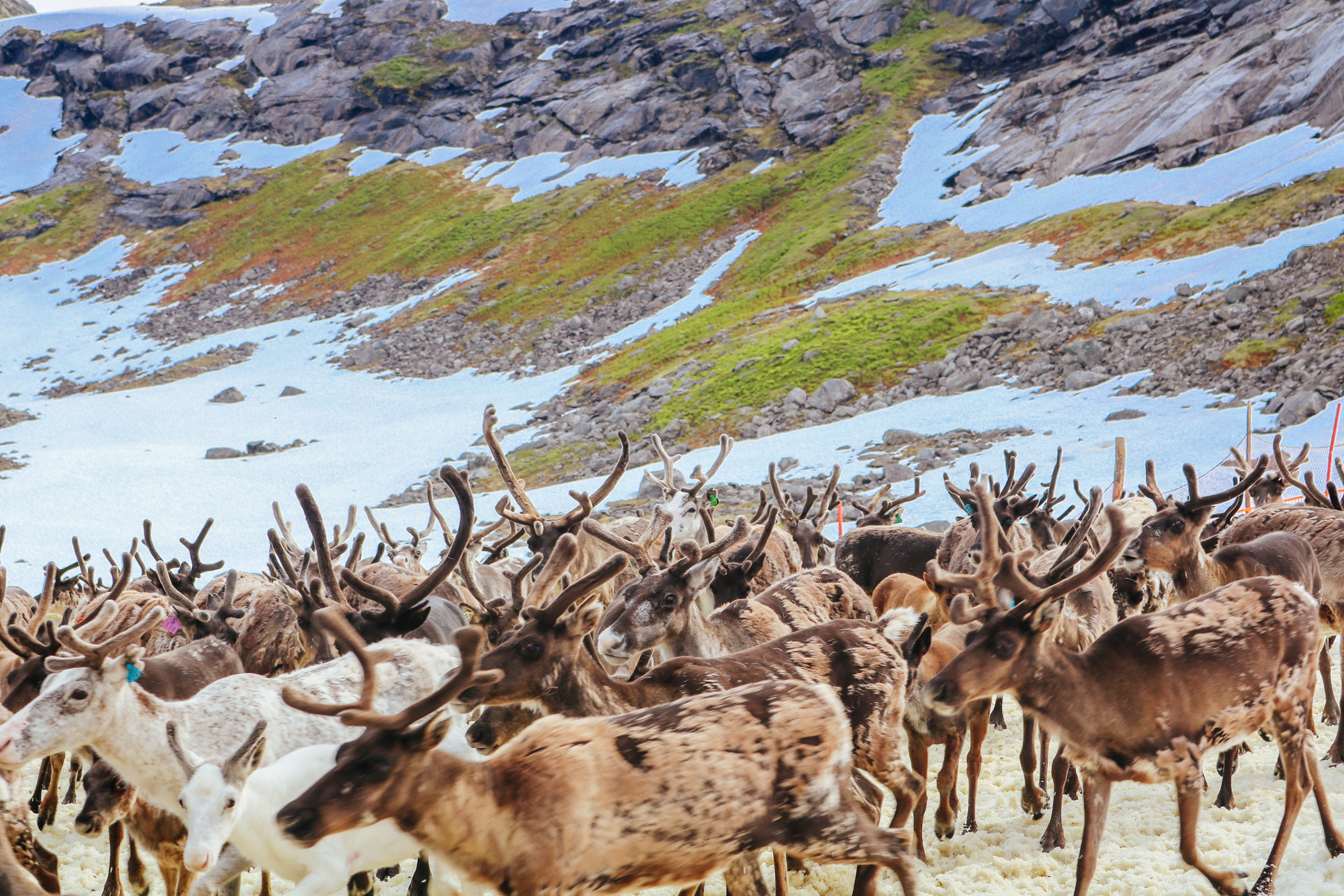 myths and facts about sami reindeer herding