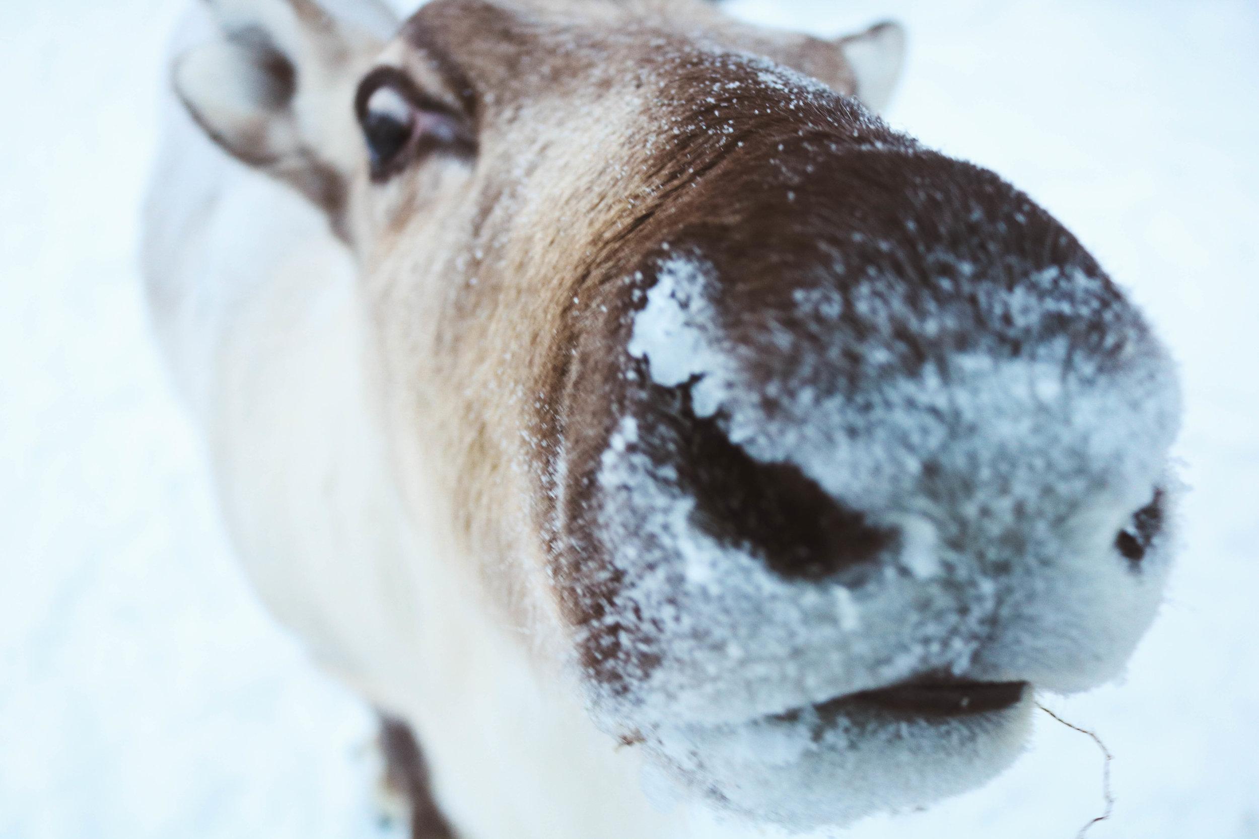 reindeer farm finland