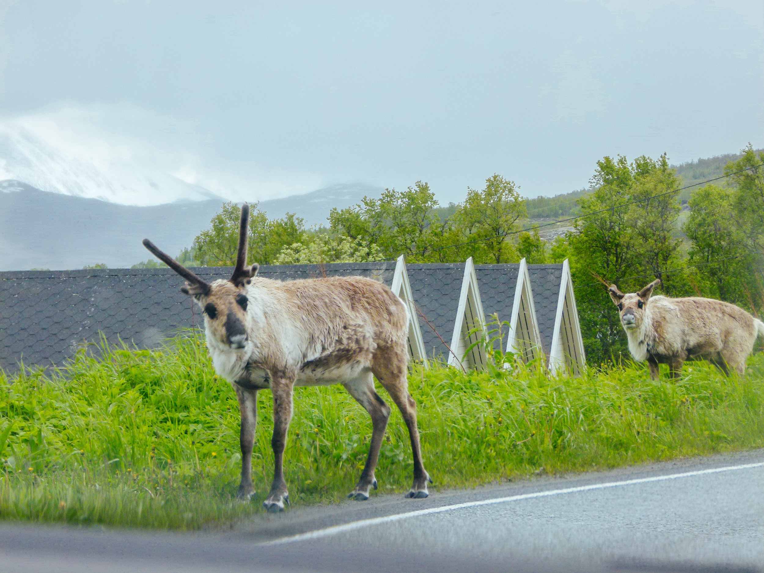 reindeer on the roads tromsø