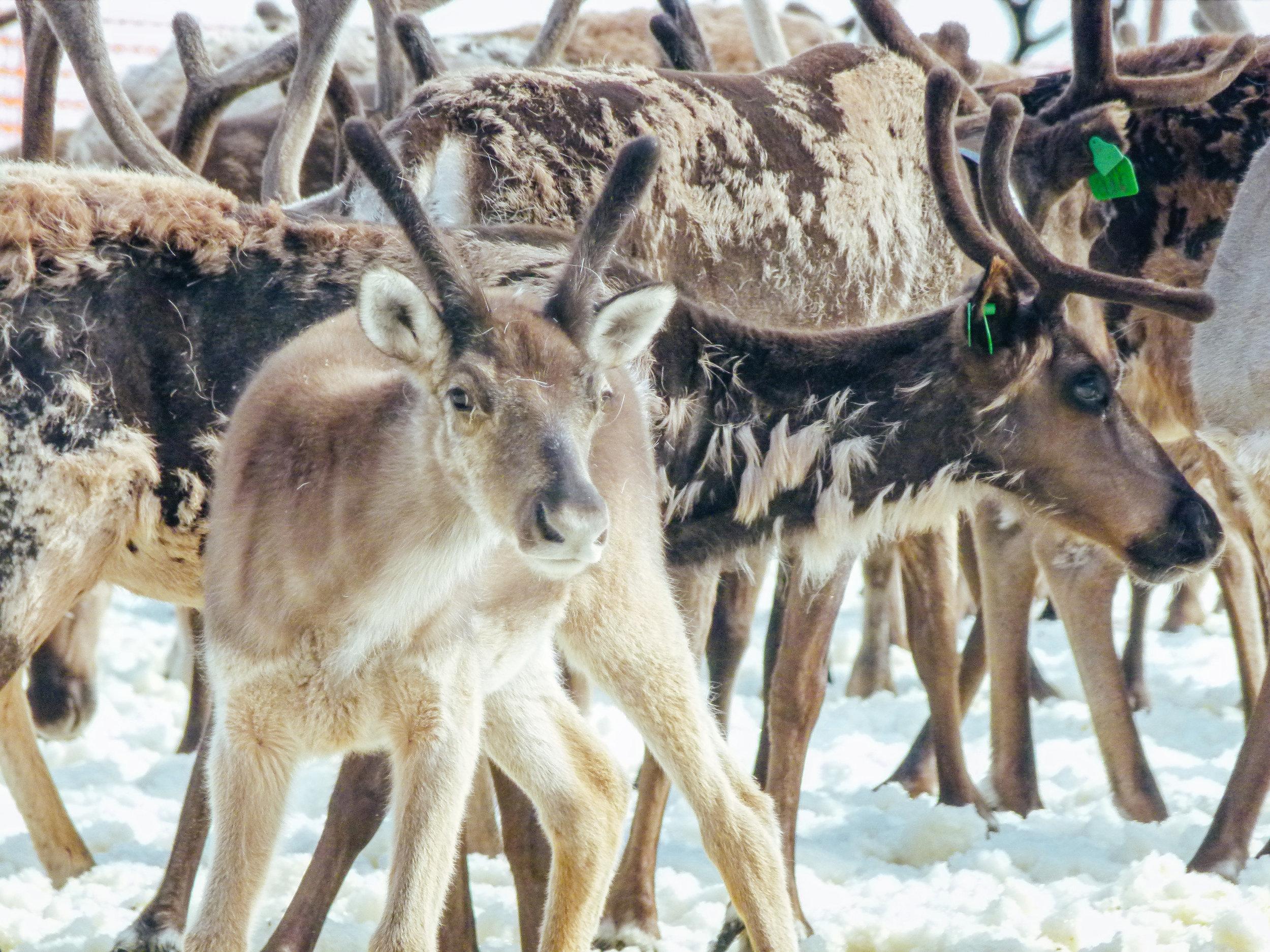 reindeer northern norway