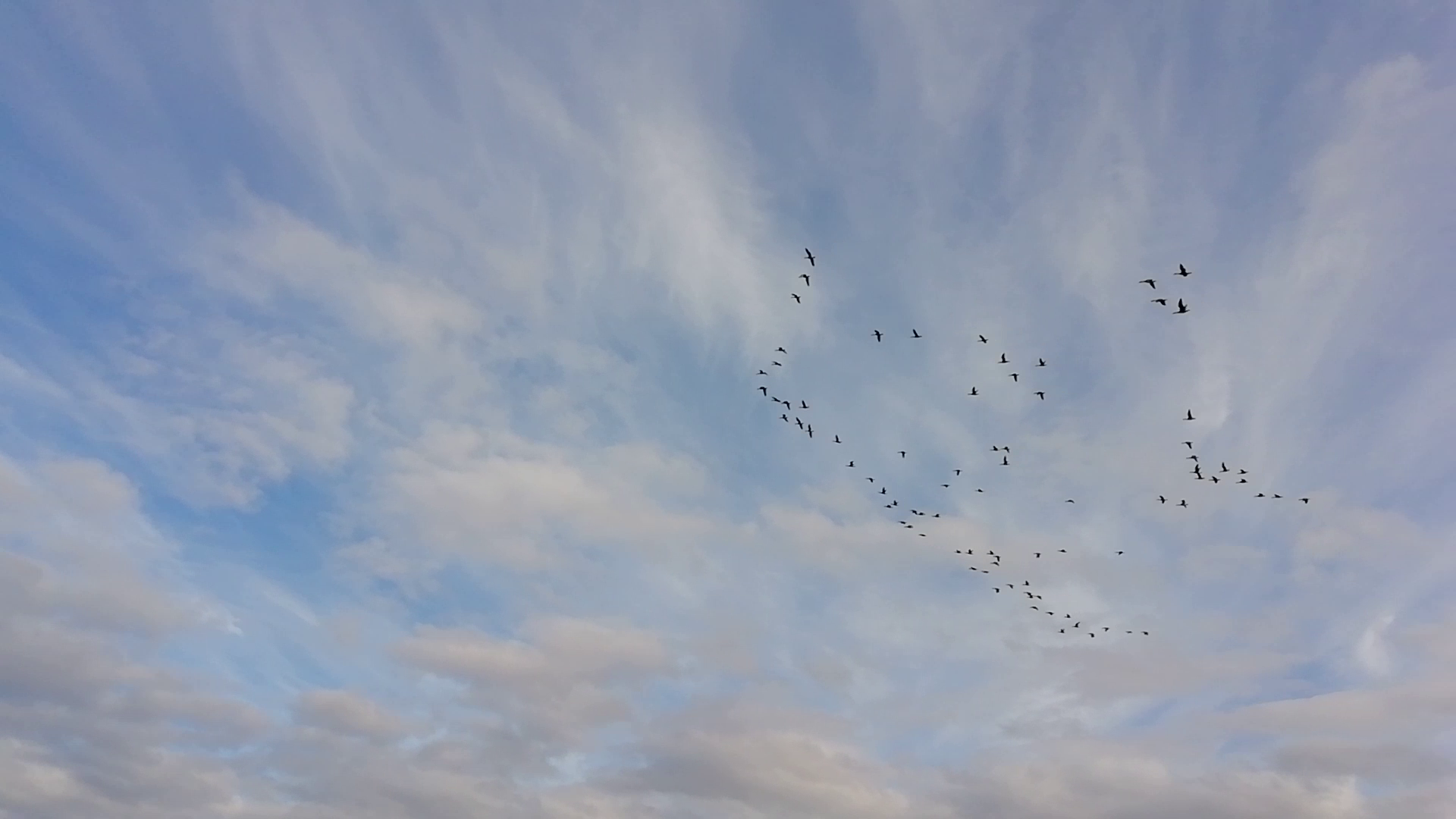 Large flock of Geese in the sky