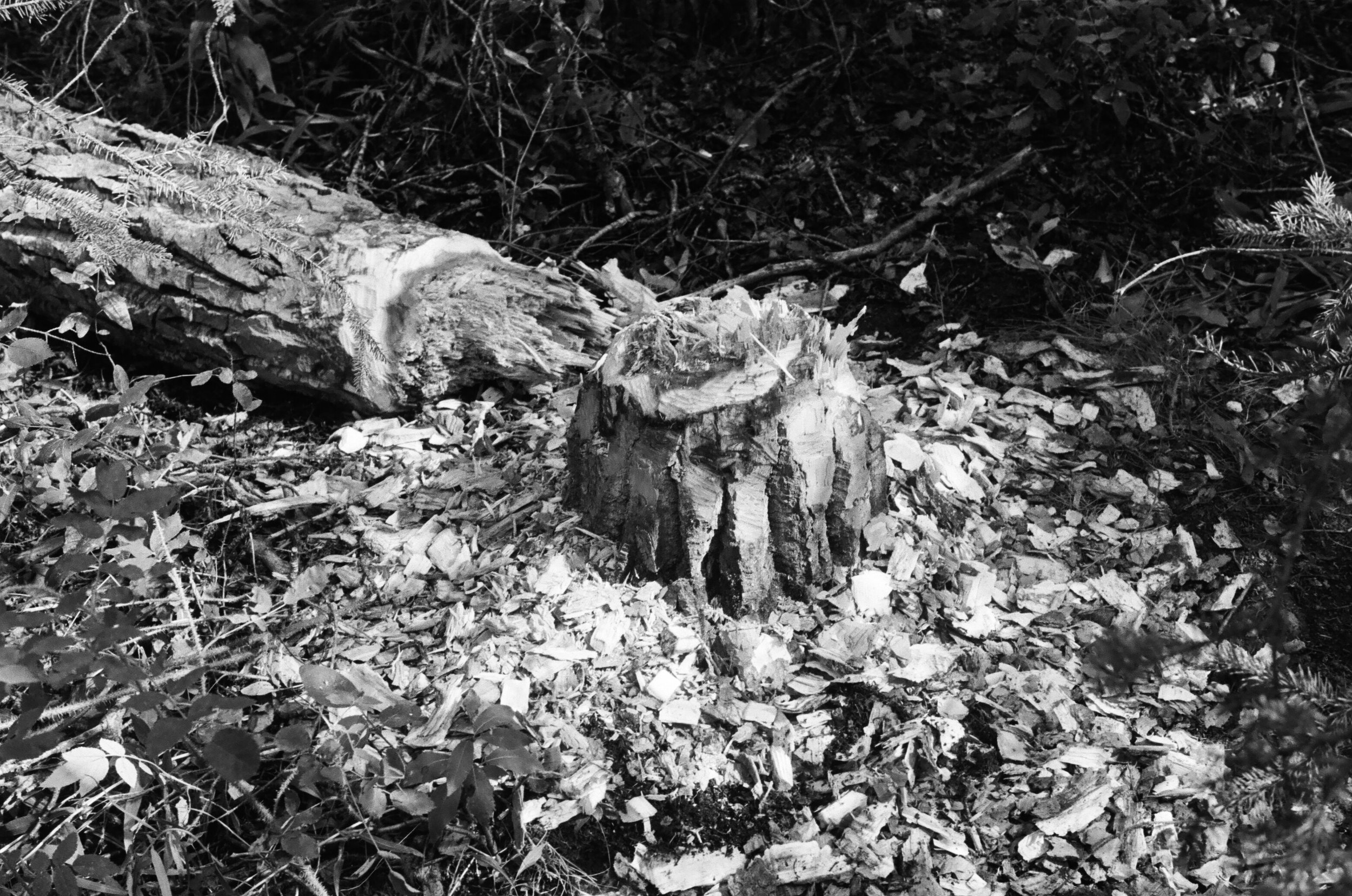 Beaver Stump . 2016 35mm