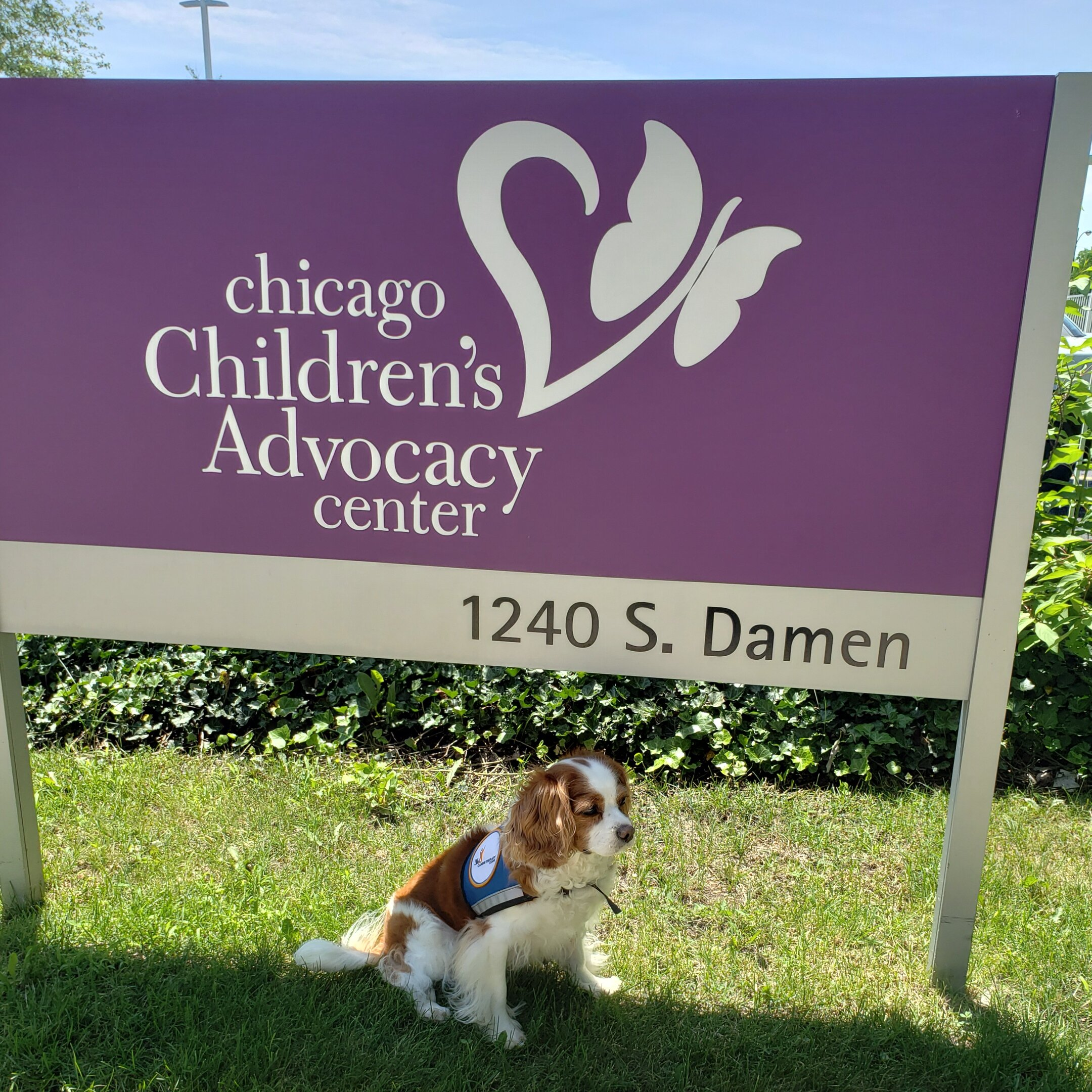Olive is one of many dogs who help children reduce anxiety while waiting for their appointments at Chicago Children's Advocacy Center.