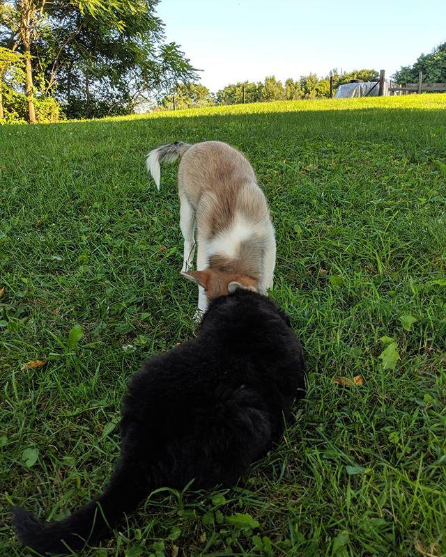 Kobe and Luca enjoying the evening on the farm. (Kobe is available pm for info)  #zzkennel #hybrid #foreverhome #pomsky #pomskypuppy #pomskynation #pomskylife #pomskiesofinstagram #pomskies #pomskylove #pomskyadventures #pomskybabies #pomskylove  Check out our pups @Pomsky_Foxie @Tauna_the_pomsky @pomsky_girl_keeper @luckandluc @princethecutepomsky @the_wolf_and_fox_ @loki_the_foxdog @nalea.aria_pomsky @belle_the_pomsky @pennyrzz @mila.thepomsky @atlas.zz @roza_shanina_the_husky @adventuresofnanook_