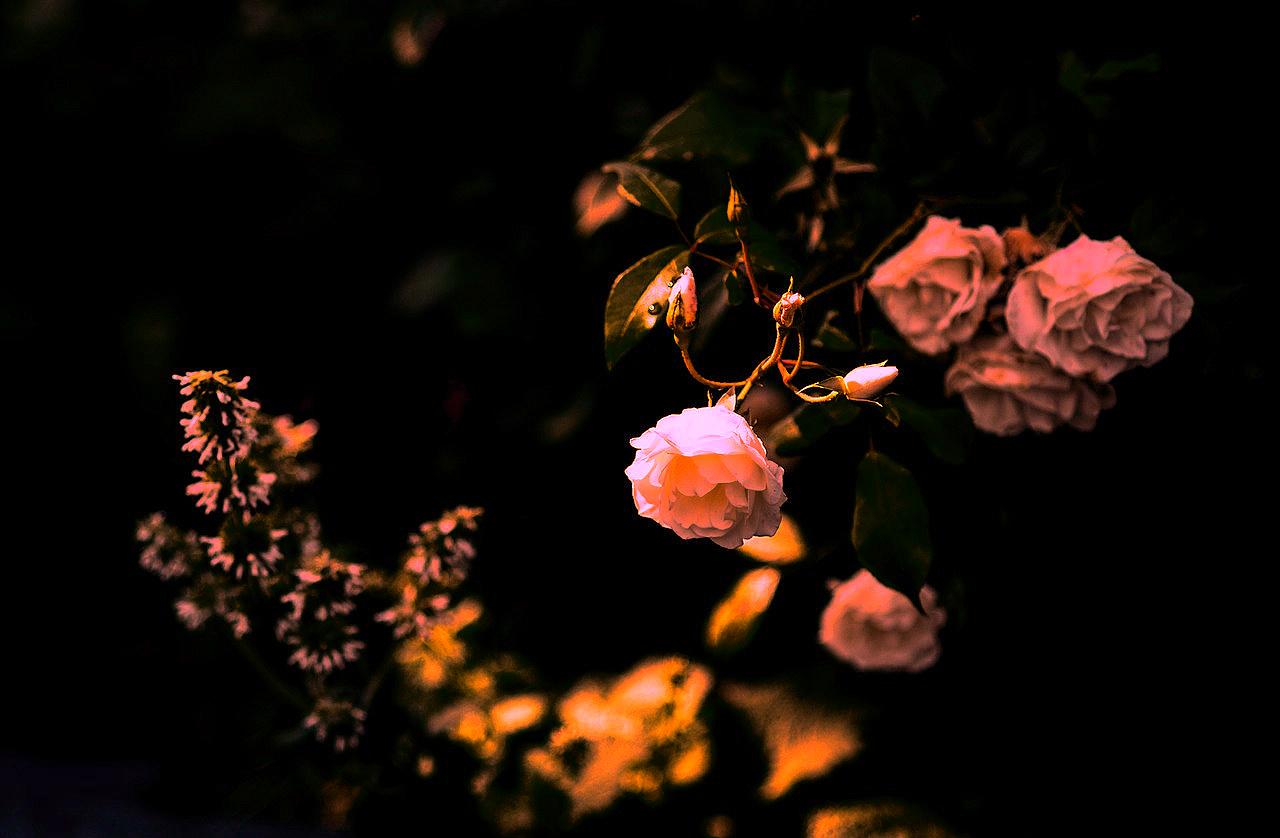 rose-2471169_1280.jpg