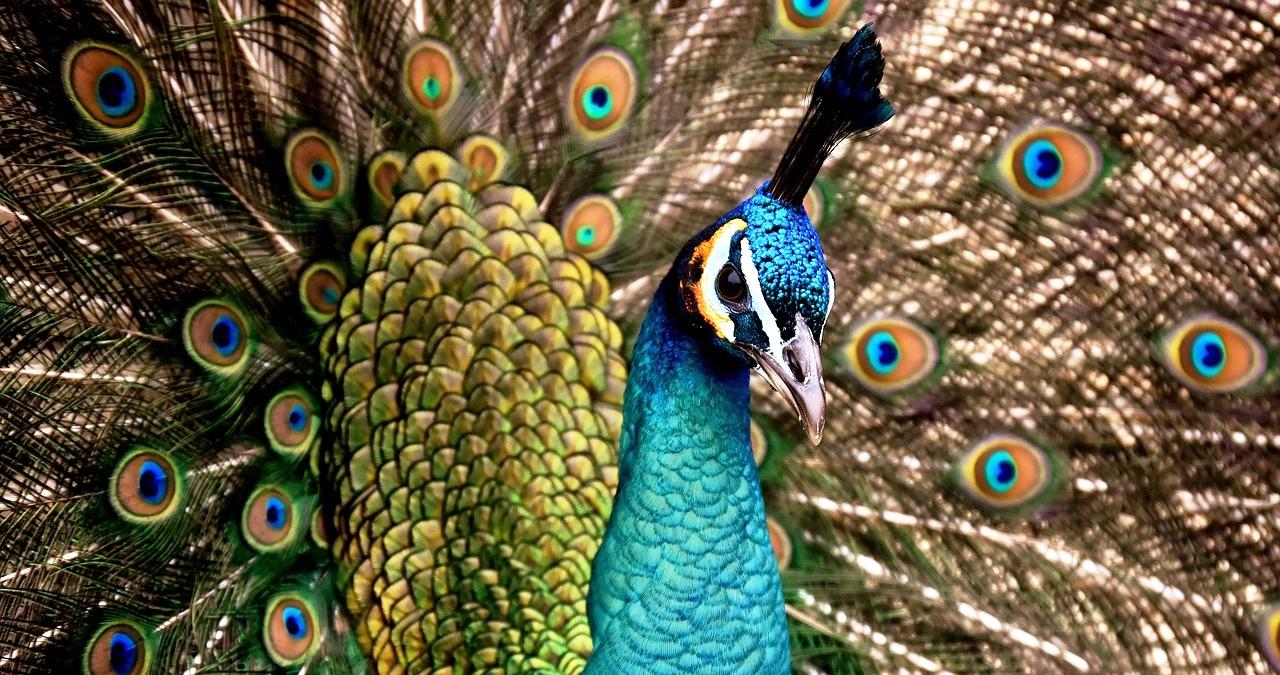 peacock-3080897_1280.jpg