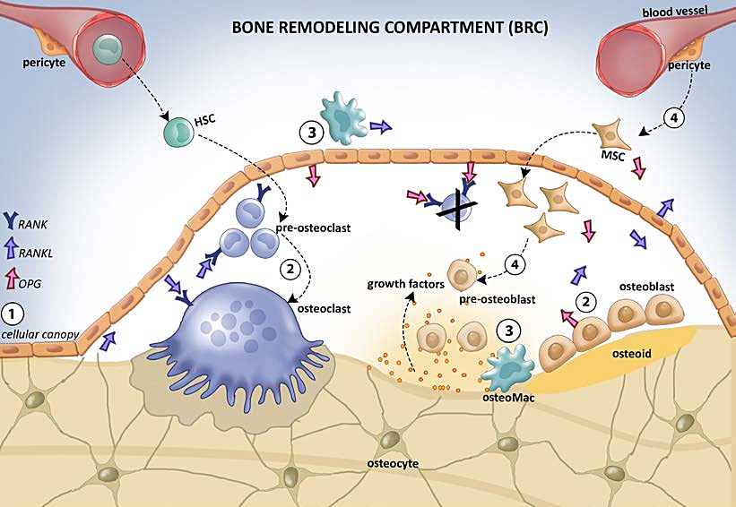 Figure-2-Bone-remodeling-compartment-BCR-1-Osteocytes-communicate-with-the-lining.jpg