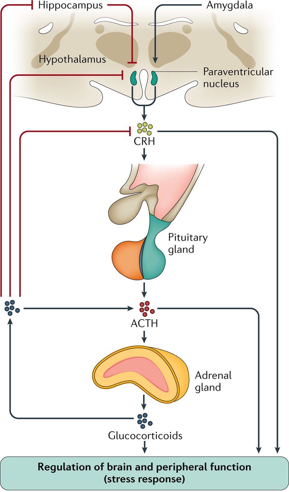 Pituitary Adrenal Axis.jpg