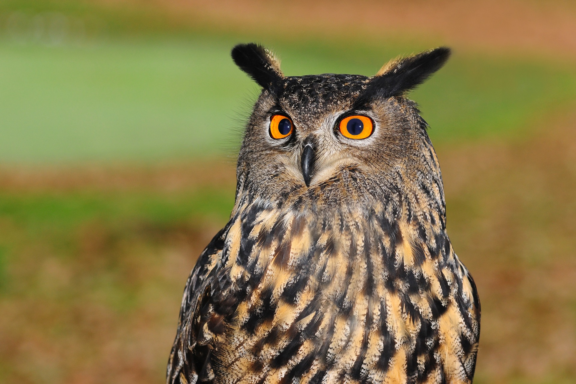 european-eagle-owl.jpg