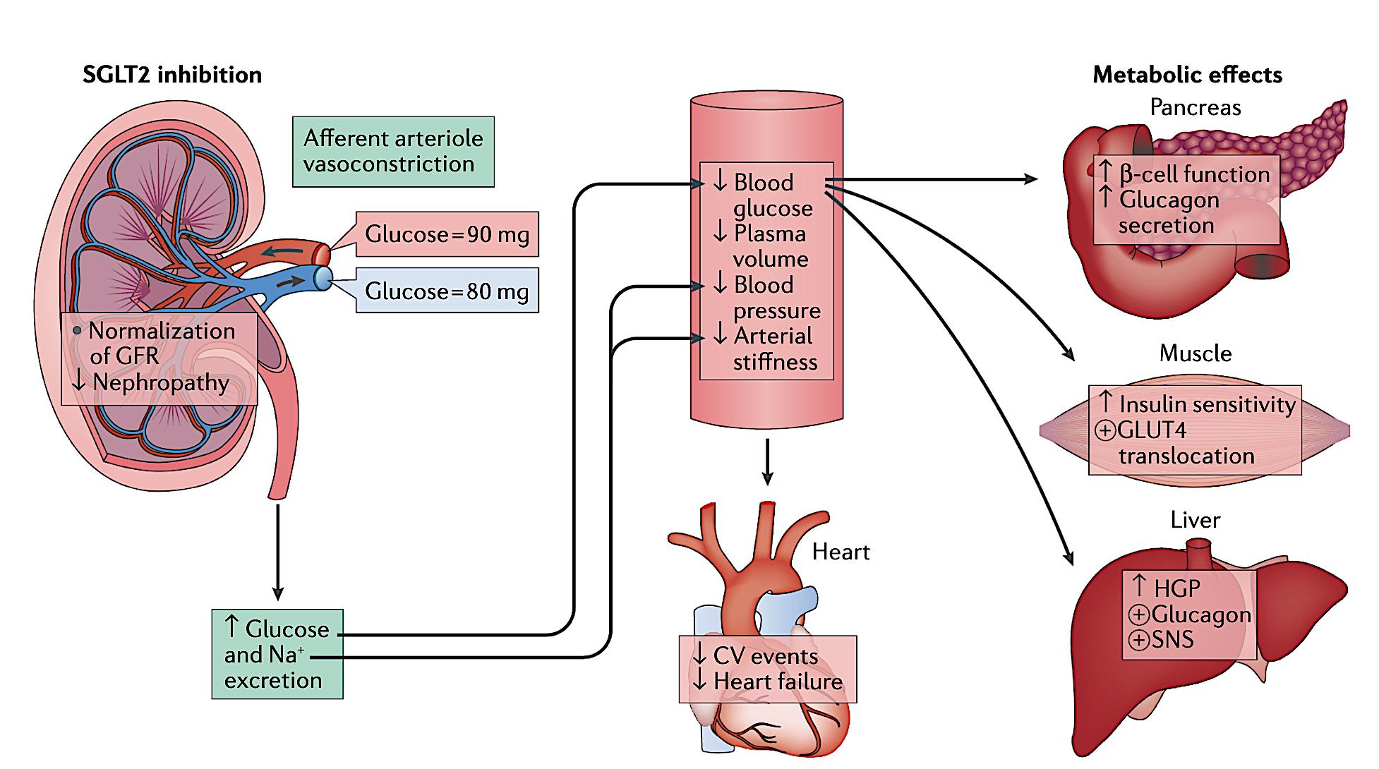 SGLT2 inhibition and Blood Pressure