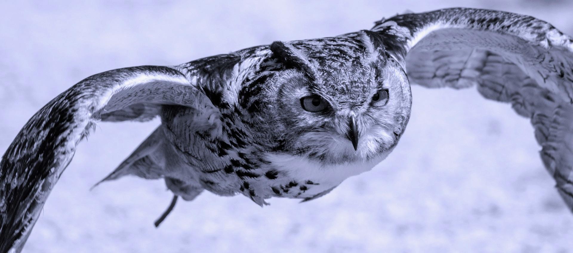 Owl+Free+Flying