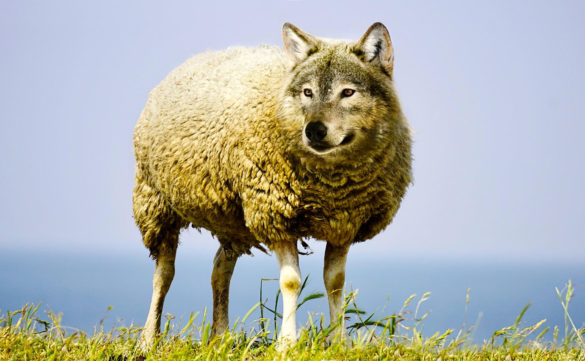 wolf like sheep.jpg