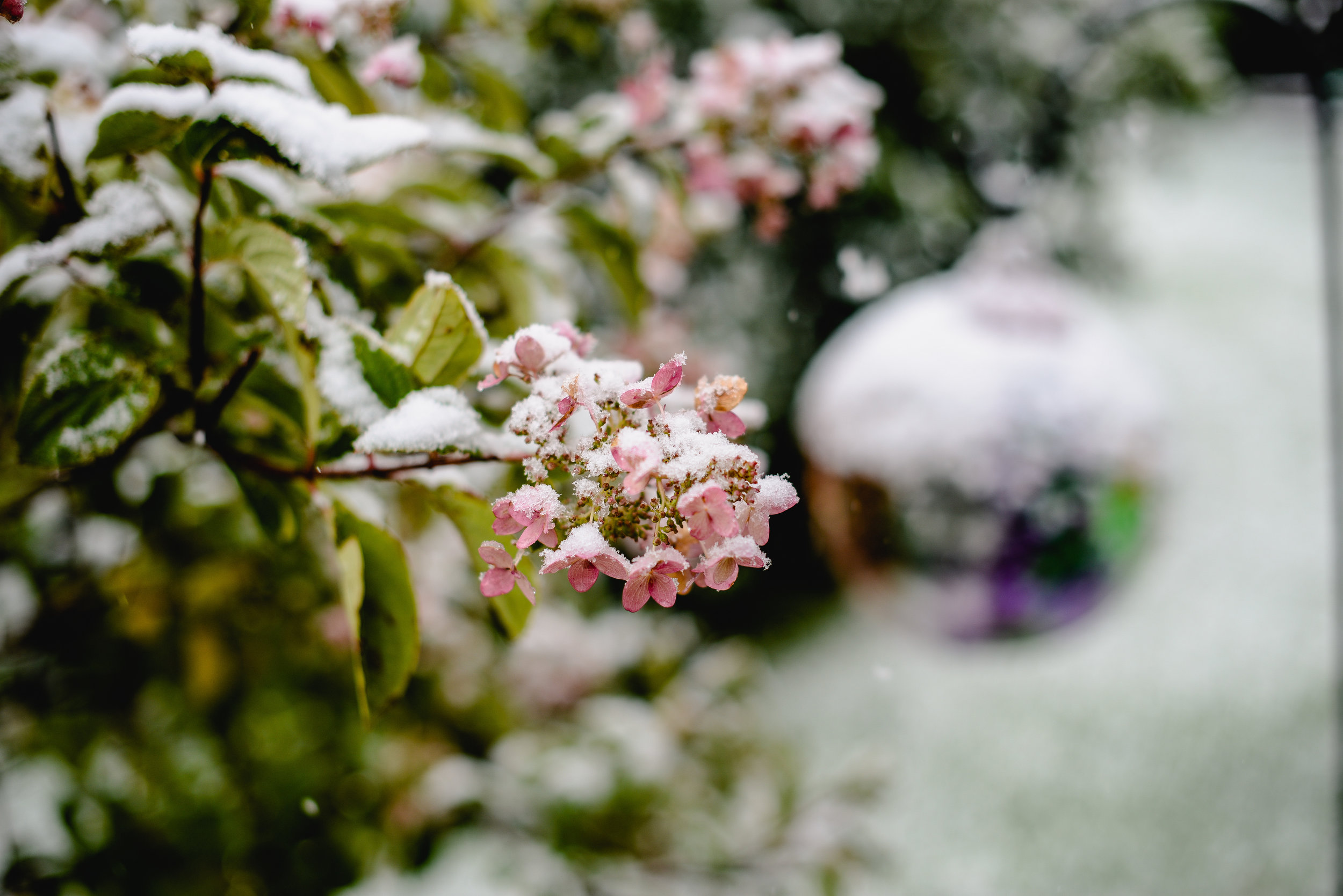 snow and hydrangeas in September