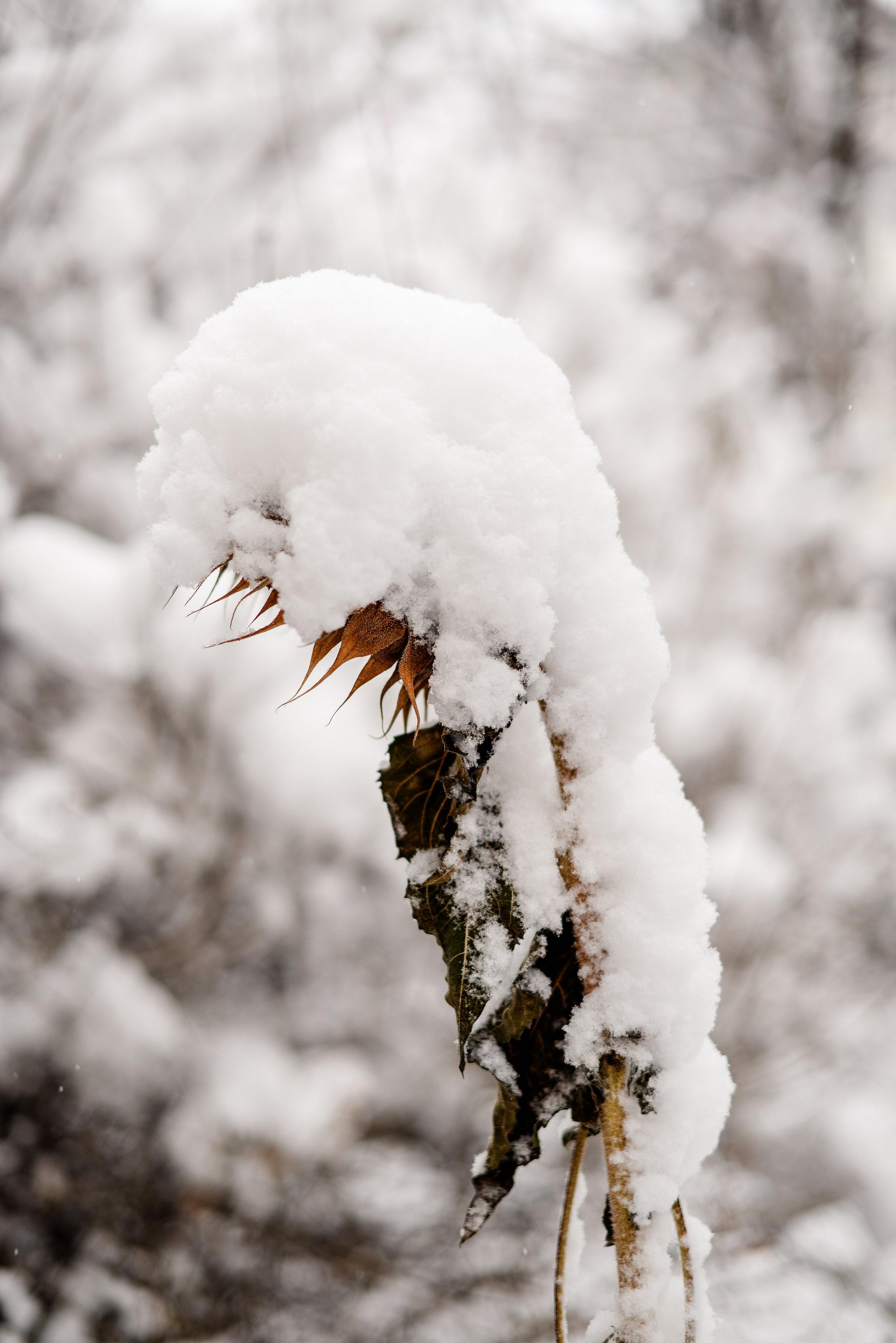 winter sunflower