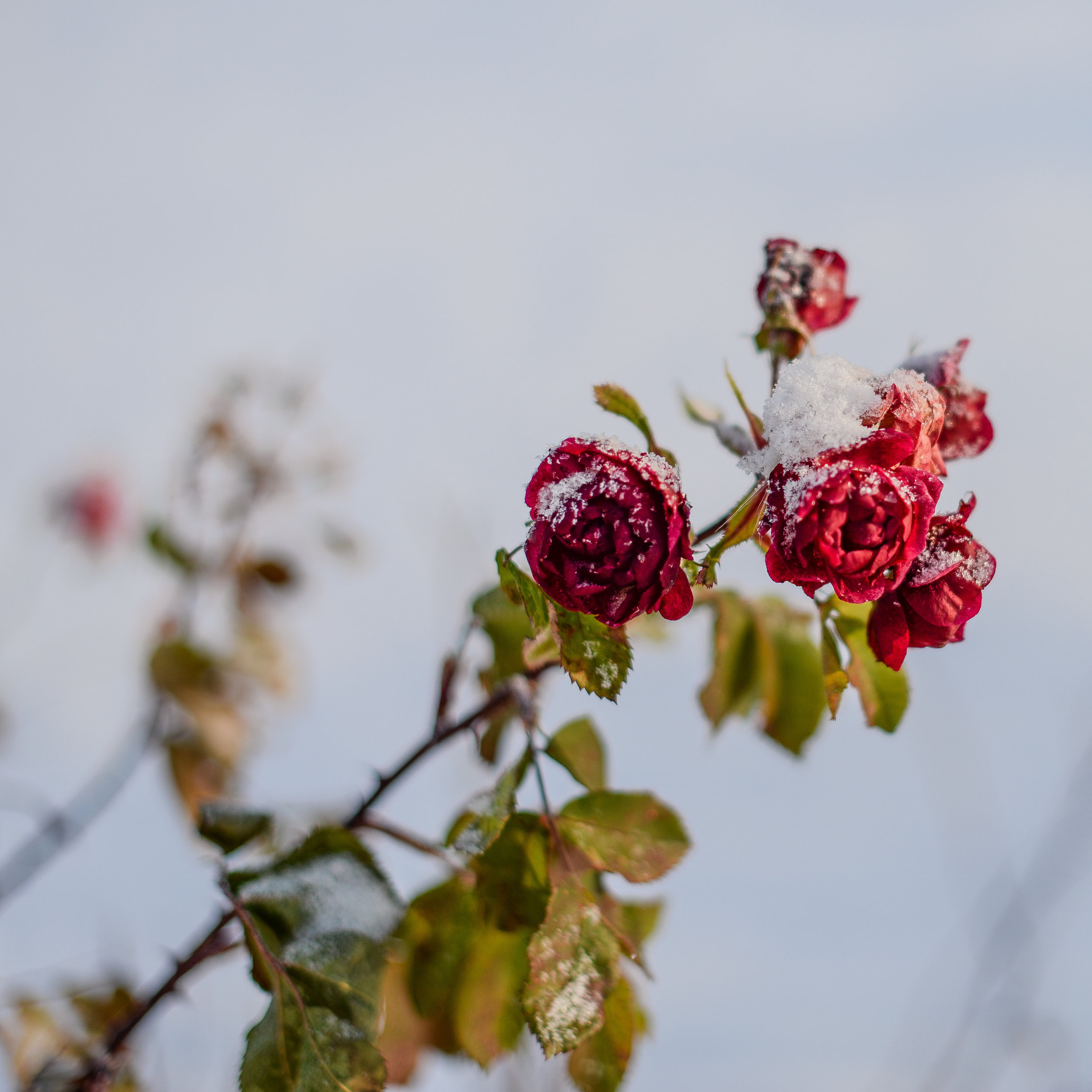 roses with snow