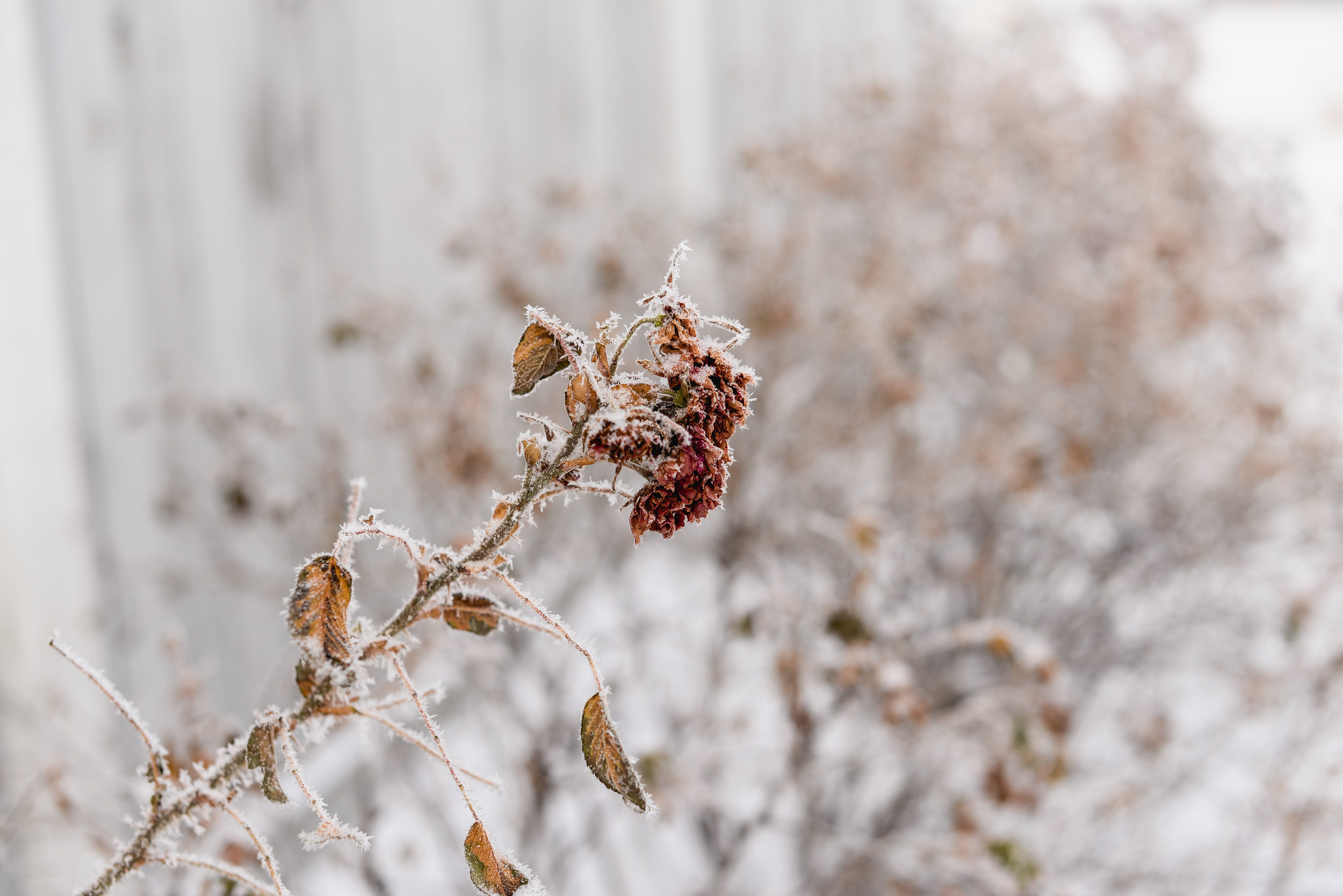 rose and frost