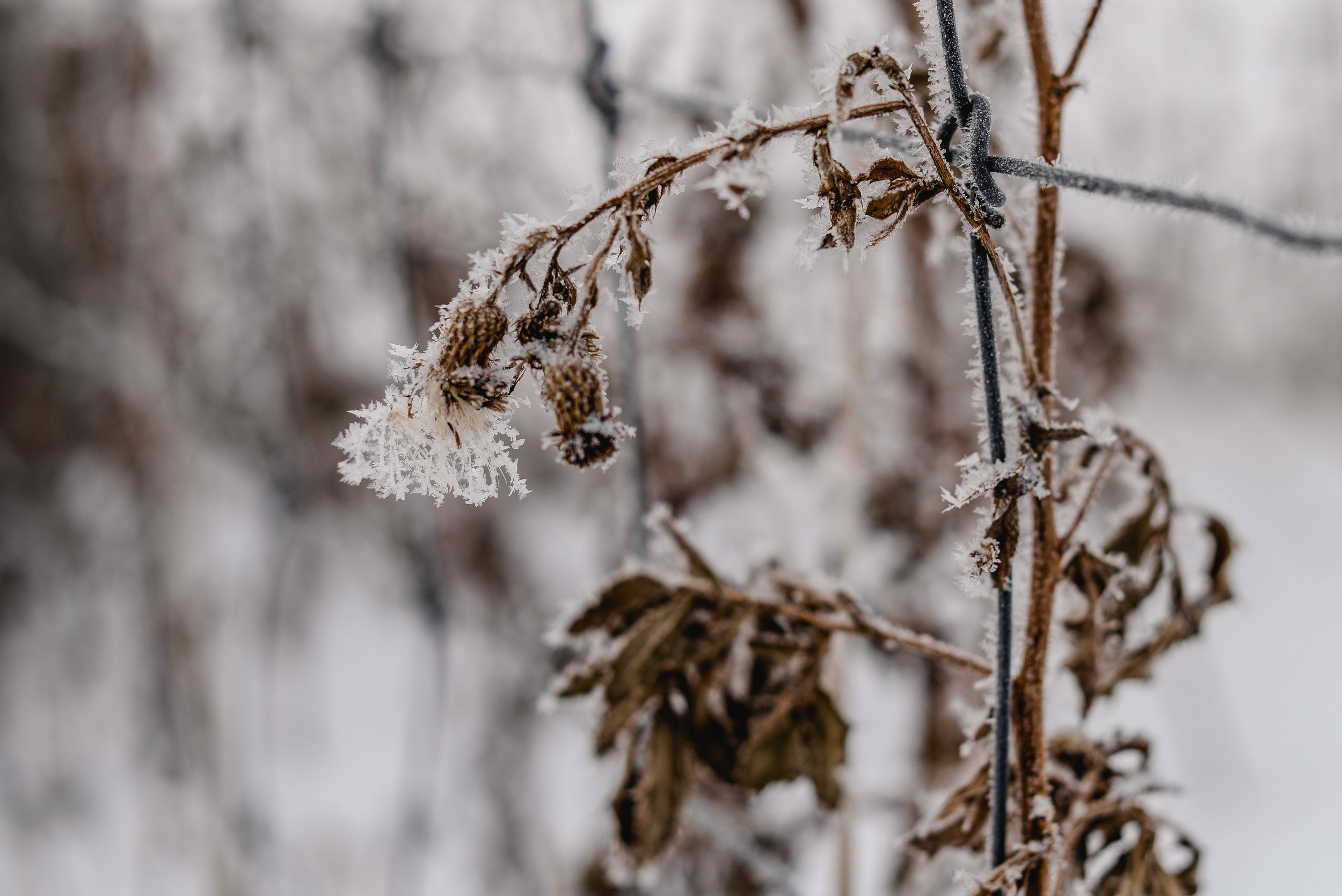 frosty thistle in winter