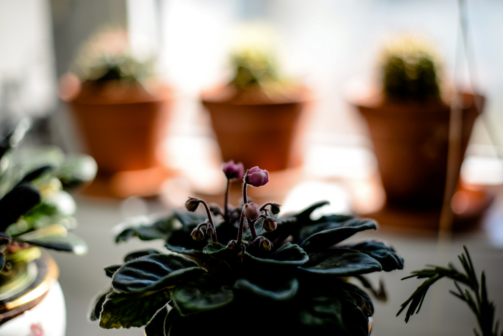 3-dark red geranium-13.jpg