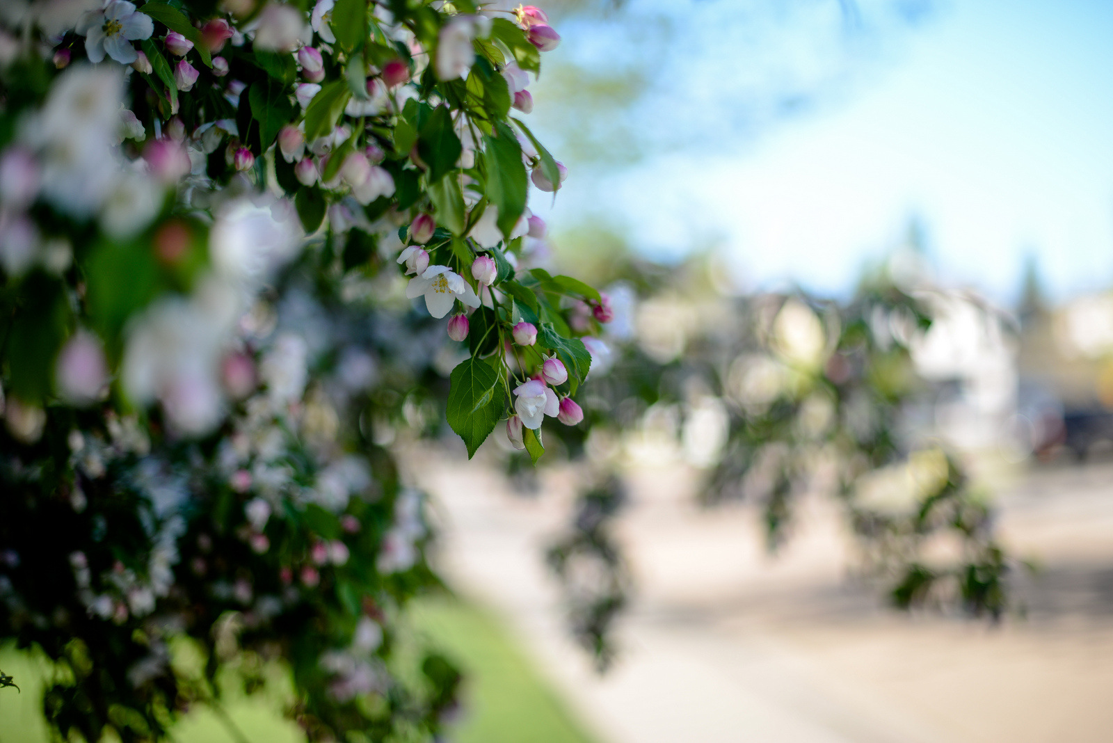 blossoms in the suburbs