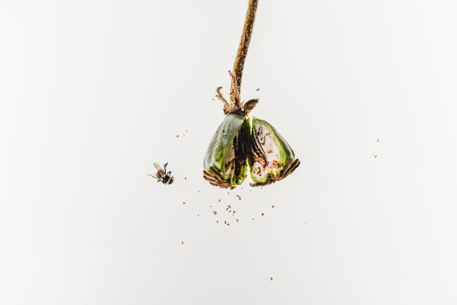 poppy pod split open