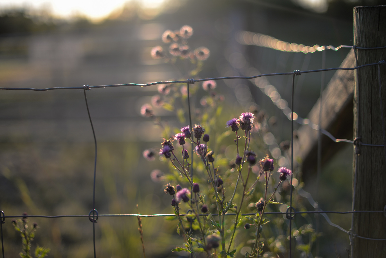 thistles by a fence