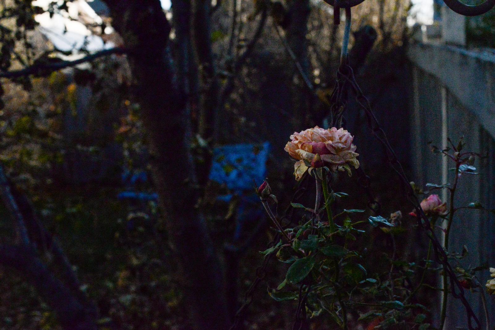 rose in autumn light