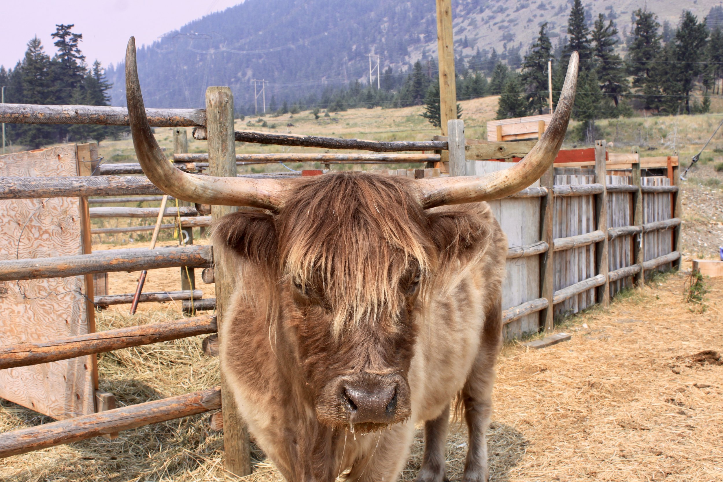 Scottish Highlander cow, easily recognized by its long hair.