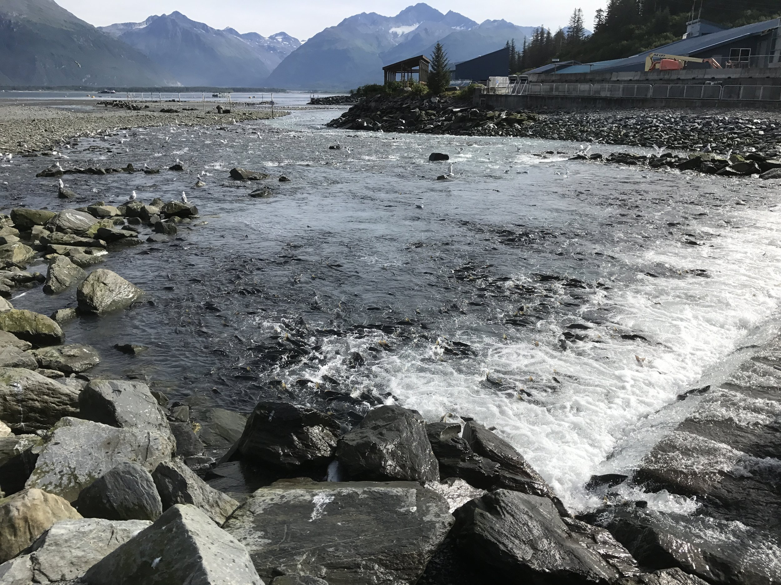 Thousands of salmon returning to the hatchery. Hungry bears also frequent the stream for an easy meal.