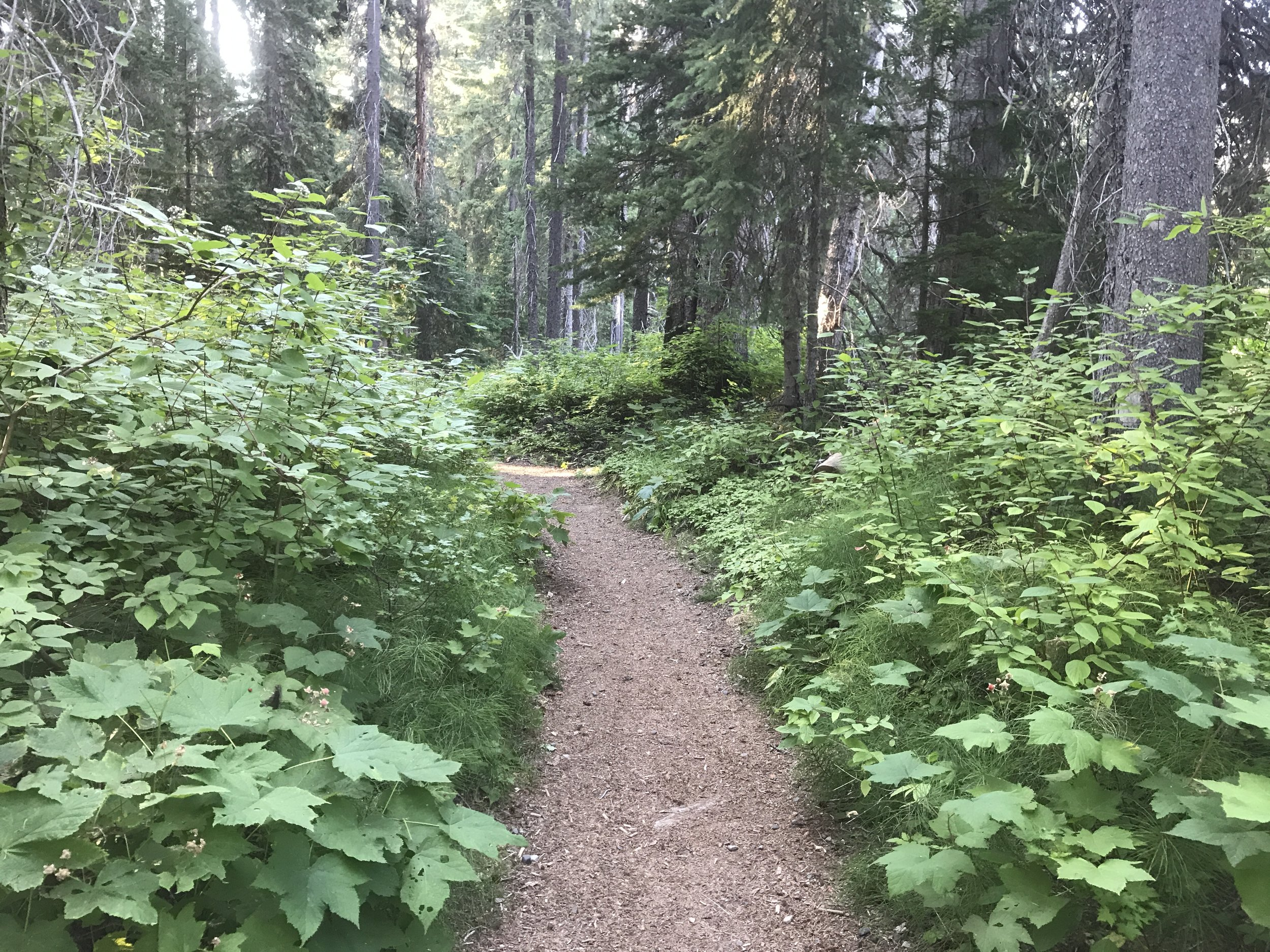 The portion of the trail I hiked in Canada was lush with dense undergrowth below a canopy of tall pines.