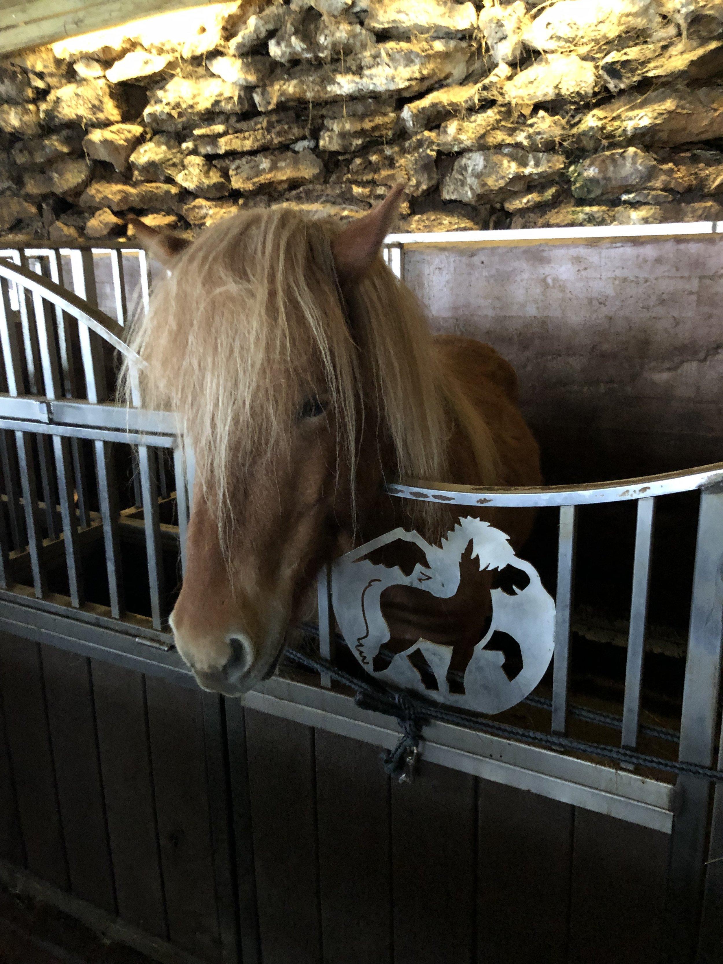 Purebred Icelandic horse.