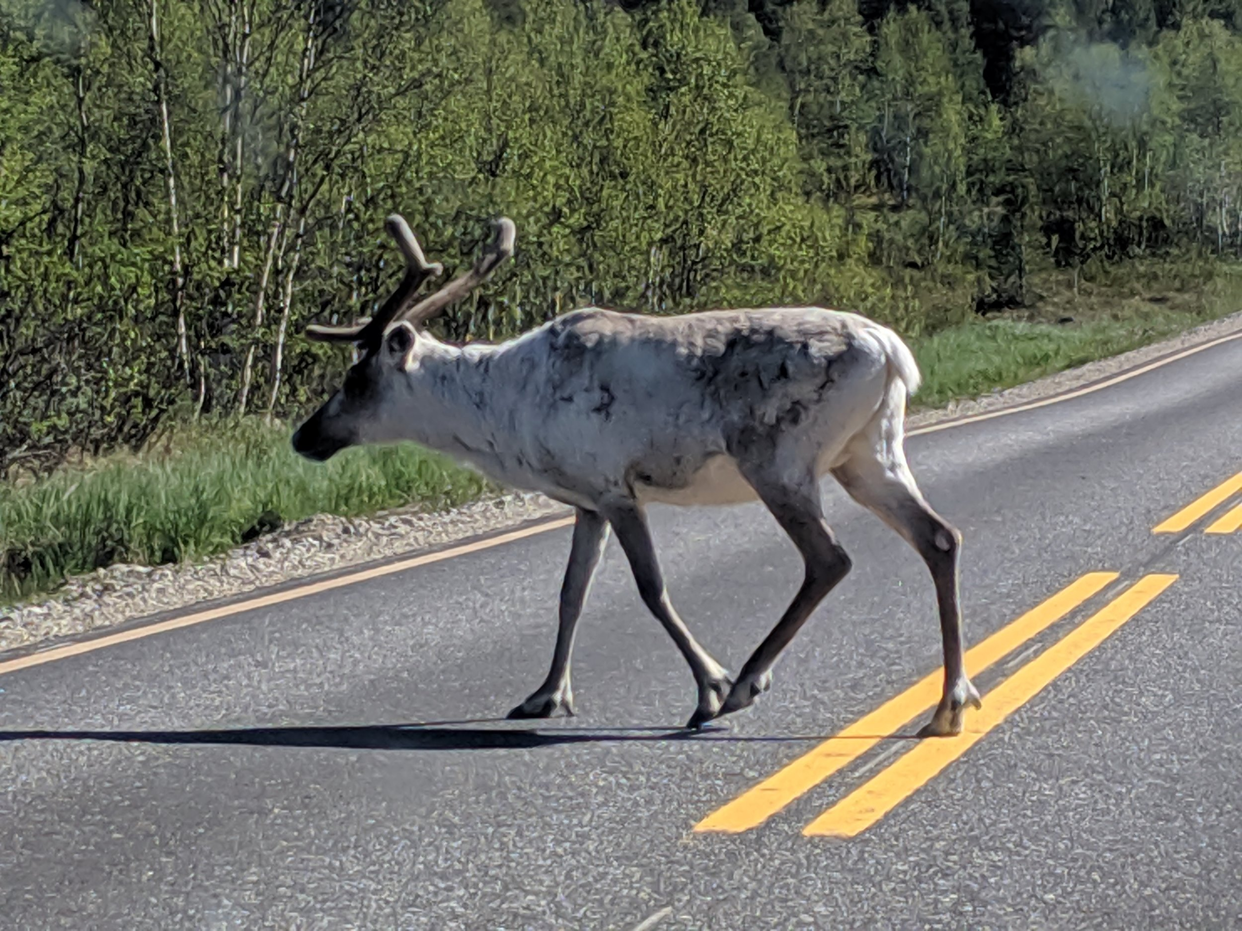 In northern Finland the reindeer are everywhere. And since the Sami people domesticated them they have no fear of humans. This one was just casually walking across the road in no hurry to get out of our way.