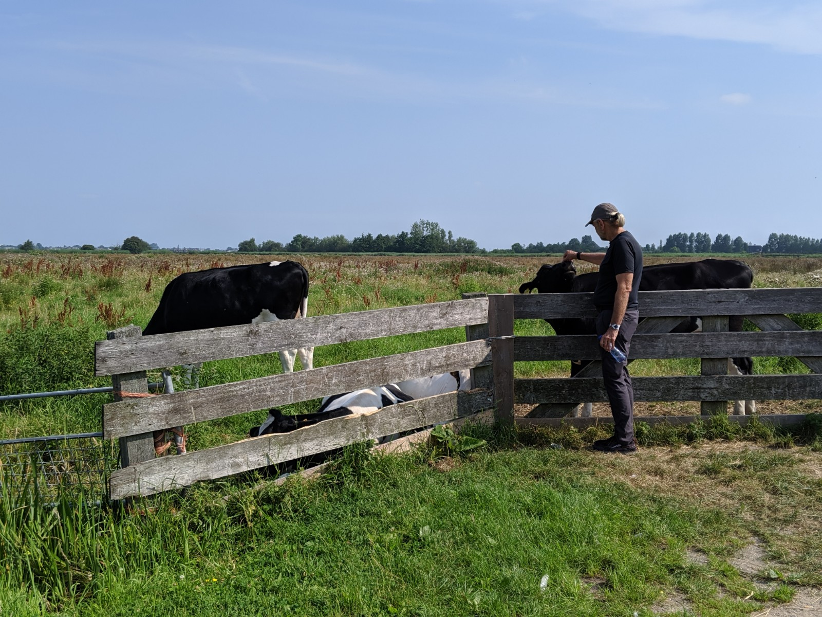 The quintessential dutch cow.