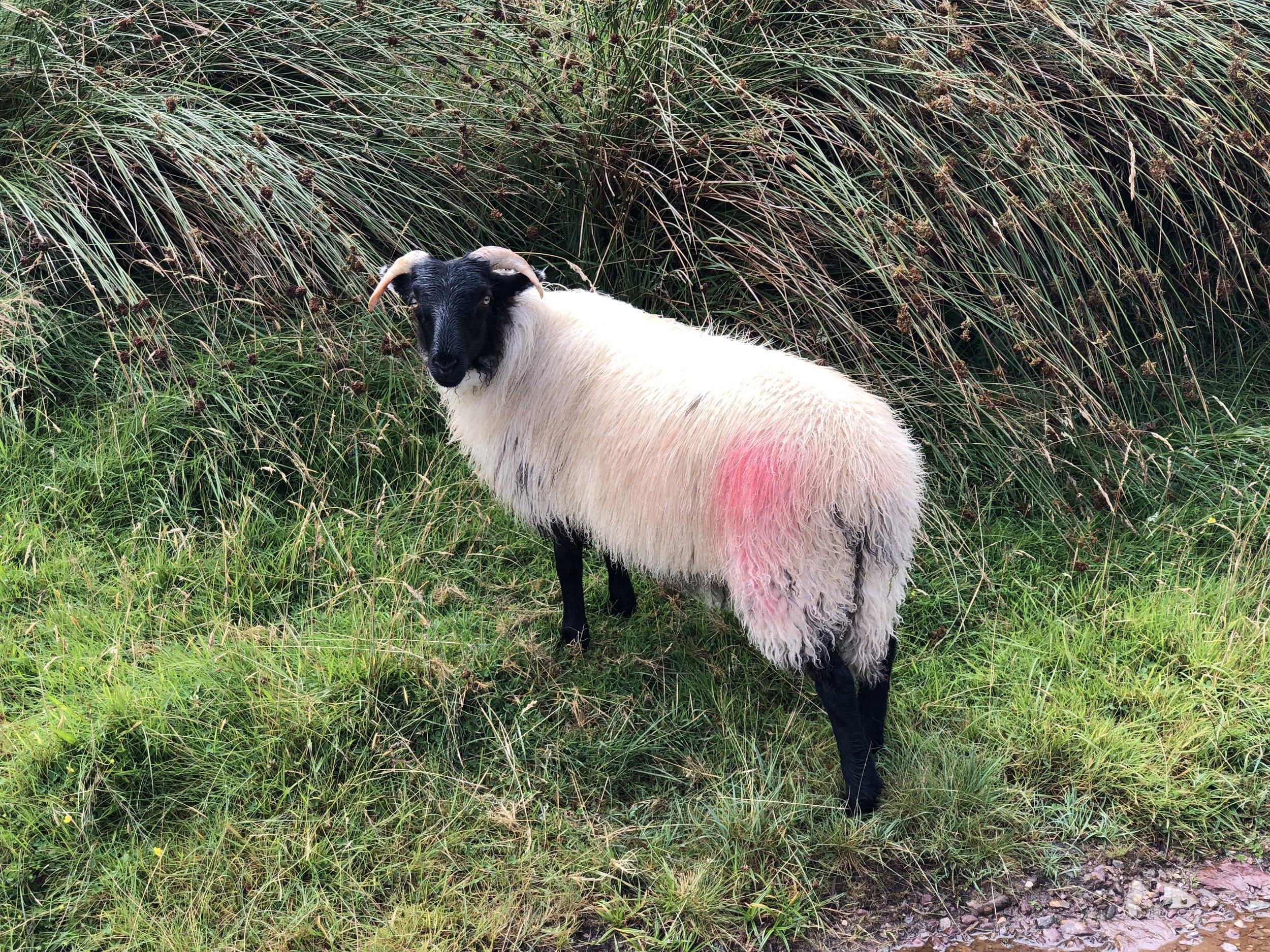 I'm not sure, but I think they spray paint on the sheep to identify their owner.