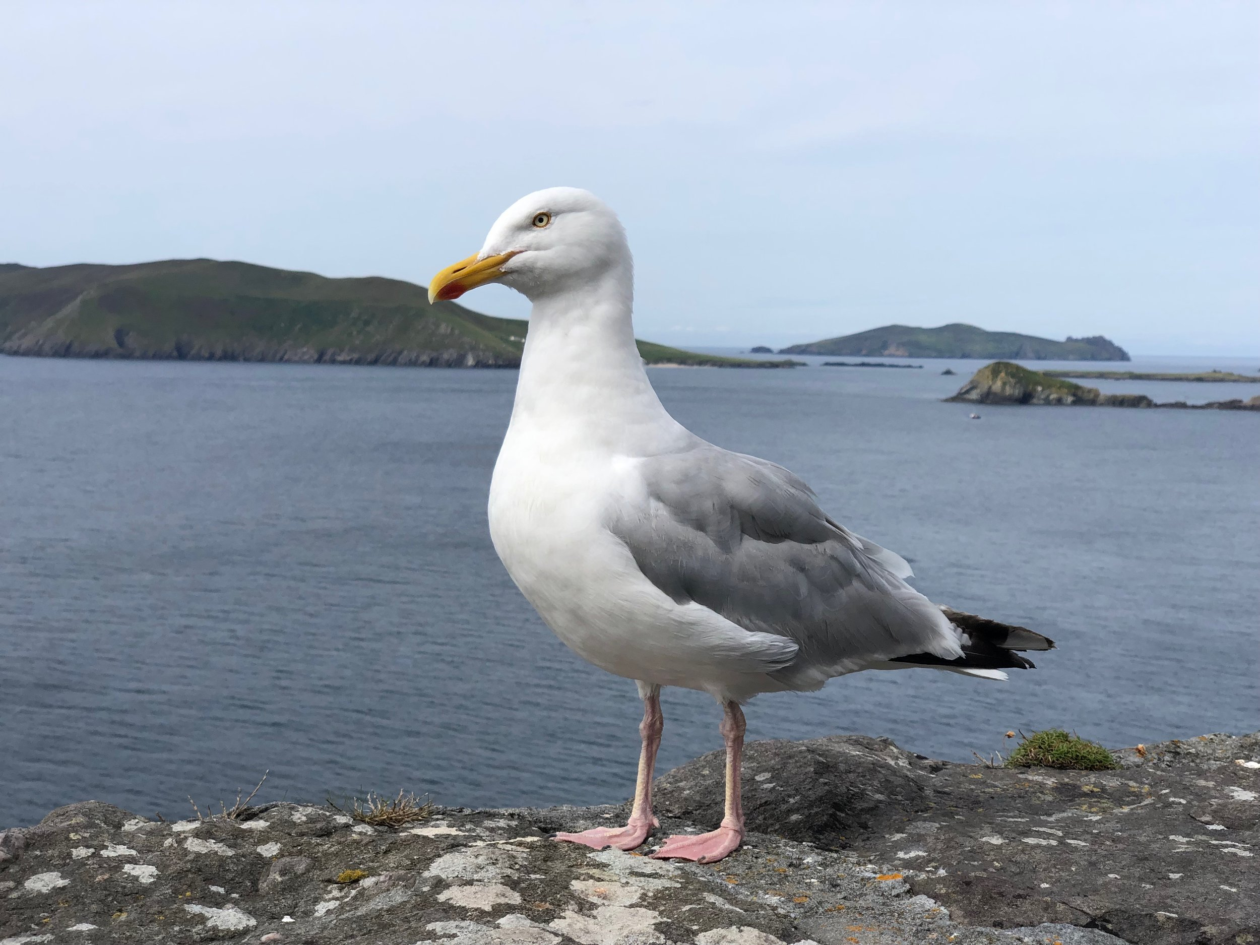 This gull looks a lot like the one that stole my empanada in Helsinki.